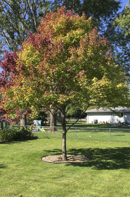 image of a red maple tree with Chlorosis