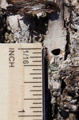 What to look for EAB