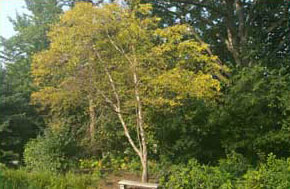 image of a tree with Iron Chlorosis