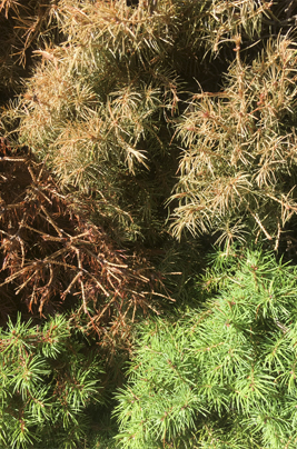 A Spruce with Spruce Spidermite