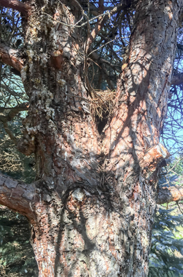A Tree With Zimmerman Pine Moth